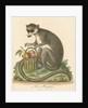 'The Mongooz' [Lemur] by George Edwards