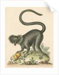 'The Black Maucauco' [Black lemur] by George Edwards