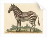 'The male Zebra' by George Edwards