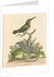 'The Little Green and Orange-coloured King-Fisher; and the Blue Lizard' by George Edwards