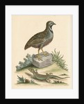 'The Chinese Quail and the Guernsey Lizard' by George Edwards