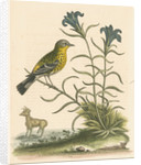 'The Yellow-rumped Fly-catcher, and the Gentian of the Desert' by George Edwards