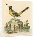 'The Grey Water-wagtail, and the Water-Lizard' by George Edwards