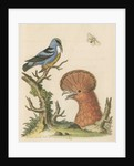 'The Black and Blue Creeper; and the Hoopoe Hen' by George Edwards