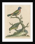 'The Painted Finch, Cock and Hen' [Painted bunting] by George Edwards
