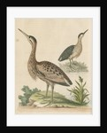 'The Little Brown Bittern' by George Edwards