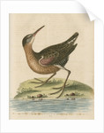 'The American Water-Rail' [Virginia rail] by George Edwards