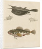 'The Horned Fish; and the Sea Scorpion' [Longhorn cowfish and Short-spined sea scorpion] by George Edwards