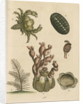 'The Balanus of the Whale with Polypes, the Limax Marina, the Hairy Crab, and the Herringbone Coralline by George Edwards