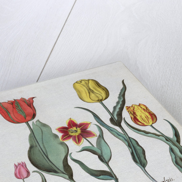Tulips by Anonymous