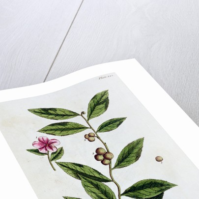 Green tea by Elizabeth Blackwell