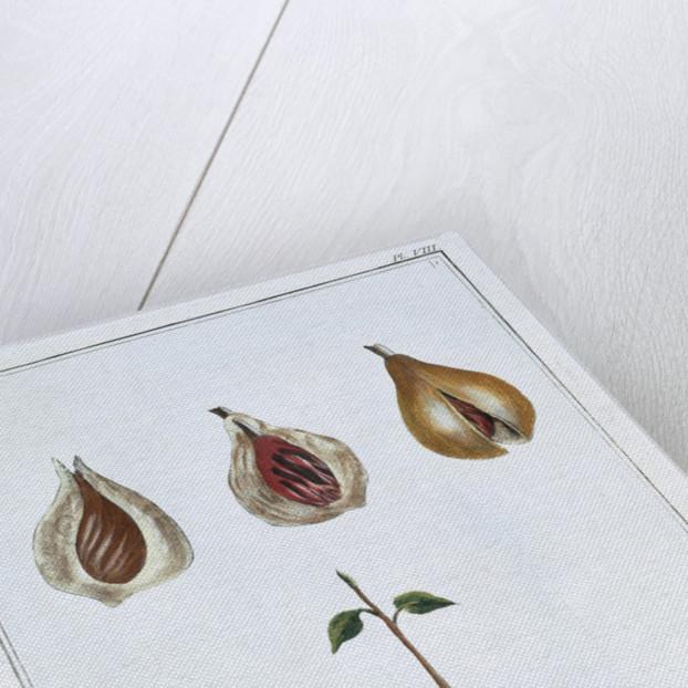 Nutmeg by Pierre Joseph Buchoz