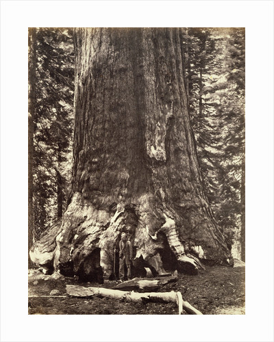 Base of the Grizzly Giant, Giant Sequoia tree, Yosemite by Carleton Emmons Watkins