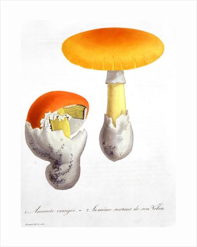 Amanita Caesaria (Caesar's Mushroom) by LFJ Hoquart