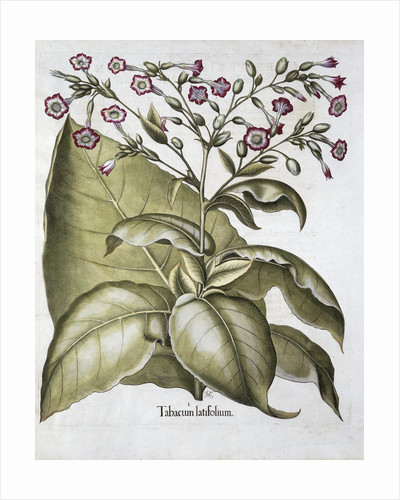 Tobacco plant by Anonymous