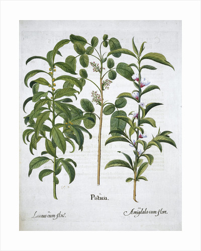 Pistachio Nut, Bay Tree (Laurus Nobilis) and Almond by Anonymous