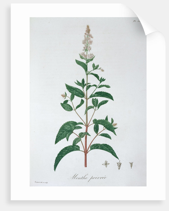 Mentha Piperita (Peppermint) by LFJ Hoquart