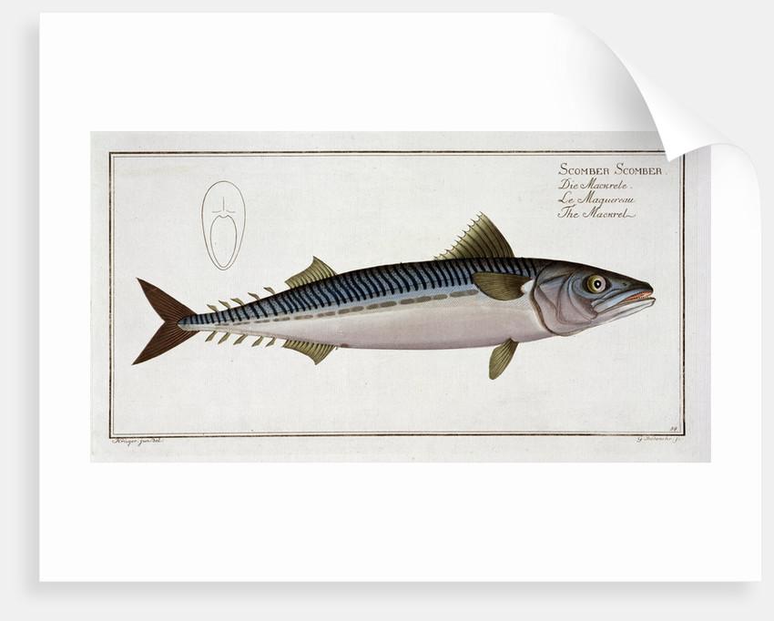 Mackerel (Scomber Scomber) by Gabriel Bodenehr I