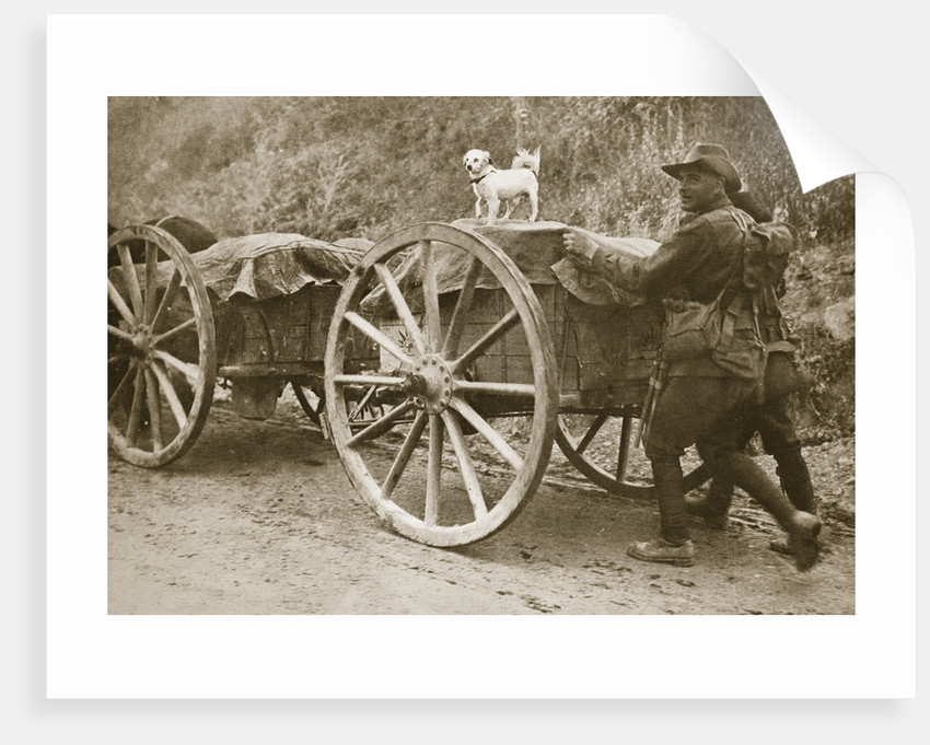 Australian troops returning from the trenches with their mascot by Anonymous