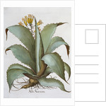 American Aloe (Aloe Americana) by Anonymous