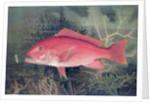 Red Snapper by SA Kilourne