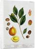 Nutmeg by Elizabeth Blackwell