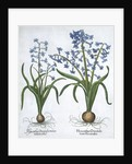 Two blue hyacinths by Anonymous