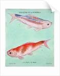 Chinese goldfish by Francois Nicholas Martinet