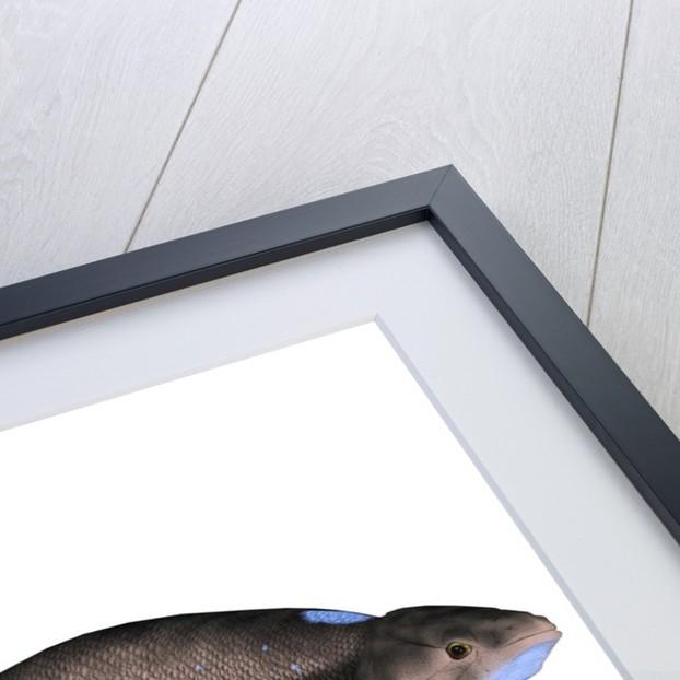 Scaumenacia is an extinct genus of lobe-finned fish. by Corey Ford