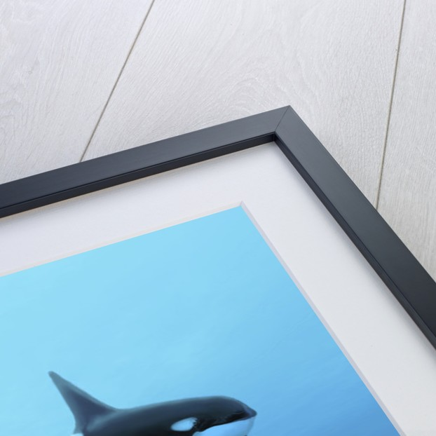 Three male killer whales swim over ancient fossil beds. by Corey Ford