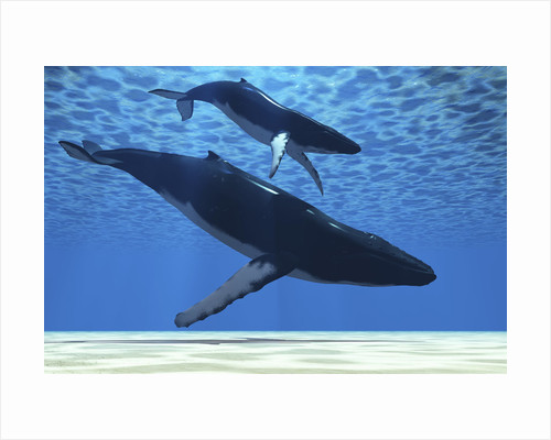 A humpback mother whale escorts her calf. by Corey Ford