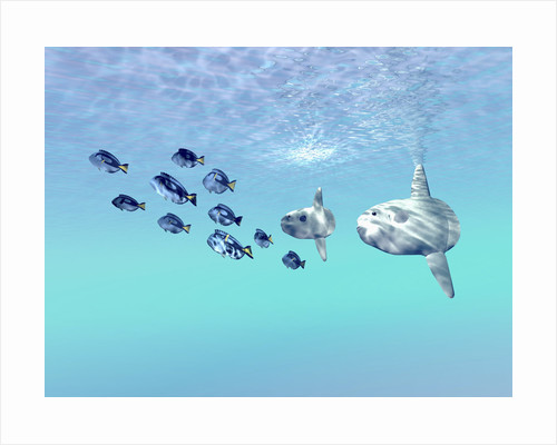 Two large sunfish escort a school of Blue Tango fish. by Corey Ford