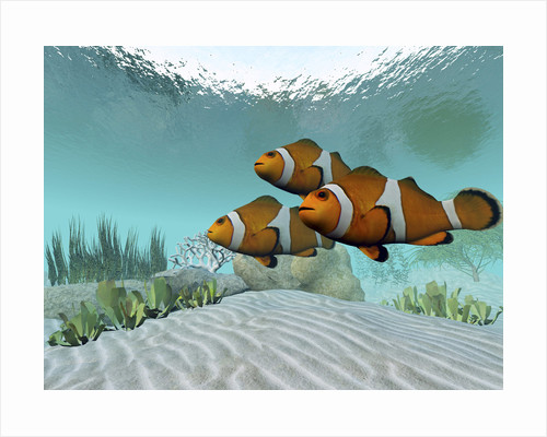 Three clownfish swim together and watch for predators. by Corey Ford