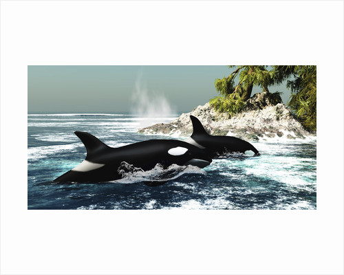 Two killer whales swim into an ocean inlet. by Corey Ford