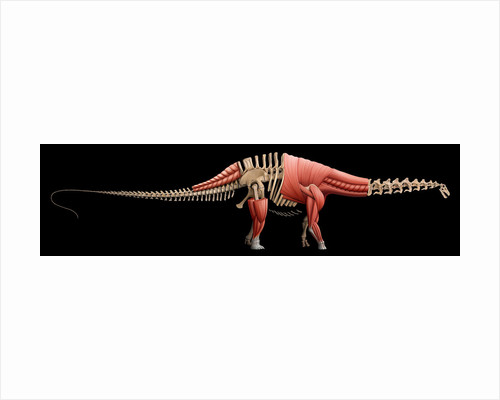 Apatosaurus skeleton and muscles. by Mohamad Haghani