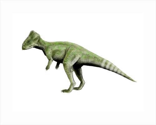Graciliceratops dinosaur. by Nobumichi Tamura