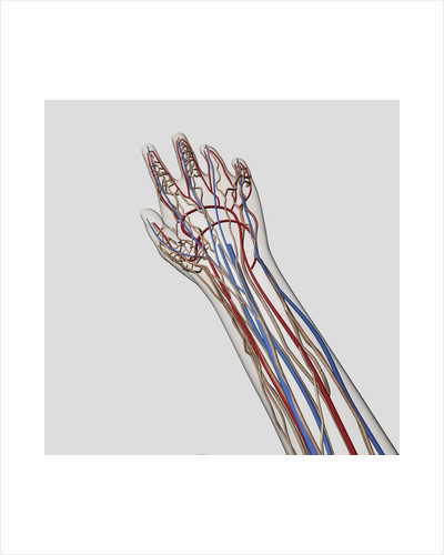 Medical illustration of arteries, veins and lymphatic system in hand and arm. by Anonymous