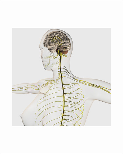 Medical illustration of the human nervous system and brain. by Anonymous