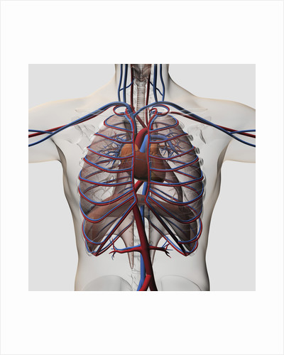 Medical illustration of male chest with arteries, veins, heart and rib cage. by Anonymous
