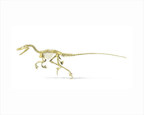 3D rendering of a Velociraptor dinosaur skeleton. by Leonello Calvetti