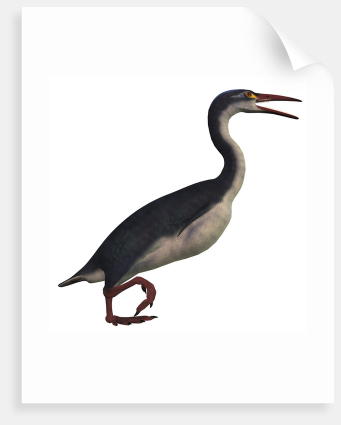 Hesperornis, a genus of flightless birds from the Cretaceous Period. by Corey Ford