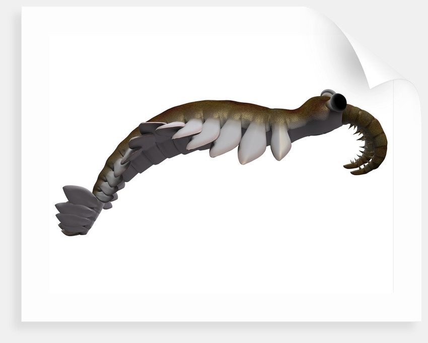 Anomalocaris From The Cambrian Period Of The Paleozoic Era