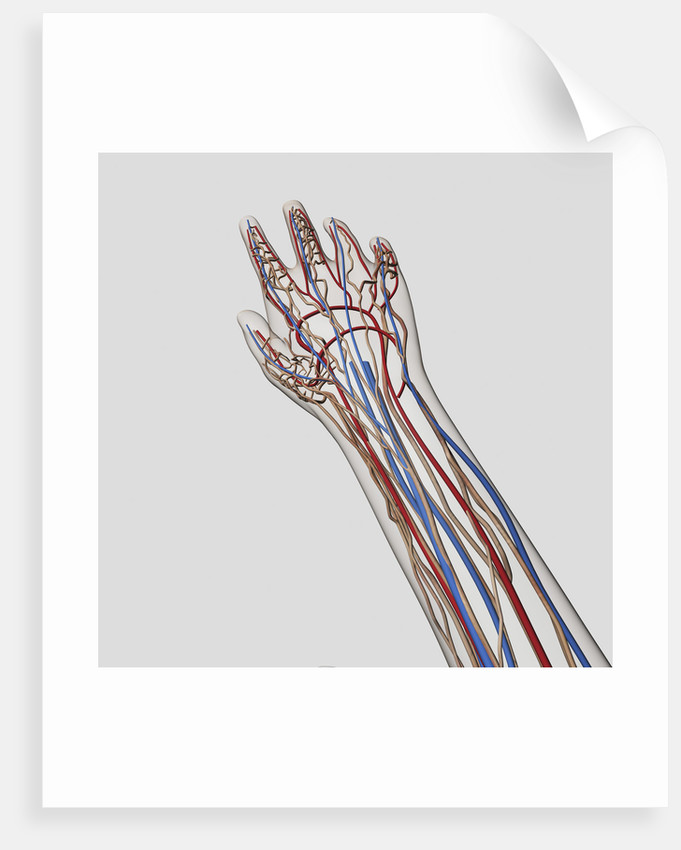 Medical Illustration Of Arteries Veins And Lymphatic System In Hand