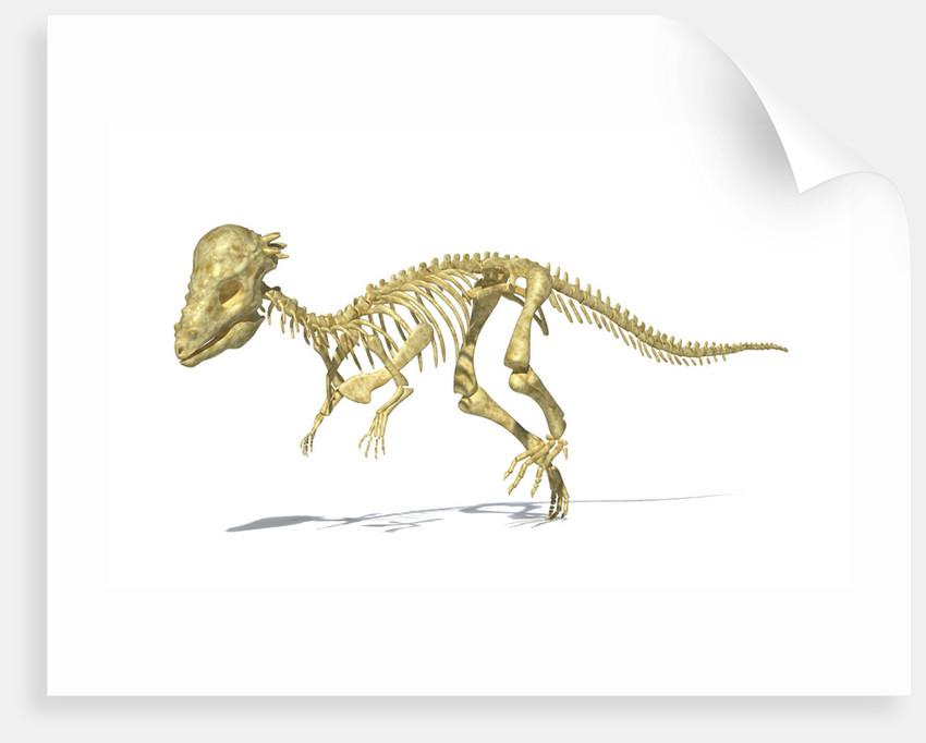 3D rendering of a Pachycephalosaurus dinosaur skeleton. by Leonello Calvetti