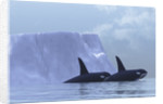 Two killer whales swim near an iceberg in the Arctic Ocean. by Corey Ford