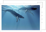 Two Humpback whales swim near the ocean surface. by Corey Ford