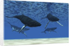 A group of humpback whales swim in ocean shallows. by Corey Ford