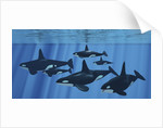 A pod of killer whales swimming together. by Corey Ford