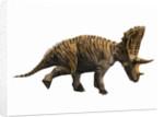 Judiceratops tigris, Late Cretaceous of Montana, USA. by Nobumichi Tamura