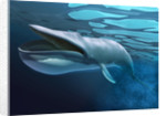 Blue whale underwater with caustics on surface. by Leonello Calvetti
